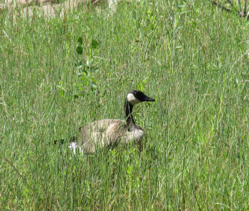 Canadian geese in a field